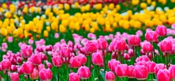 Фестиваль тюльпанов в Кропивницкому