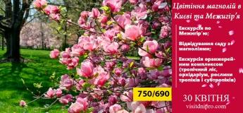 Цвітіння магнолій в Києві та Межигір'я