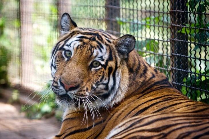 День тигра в Одесском зоопарке
