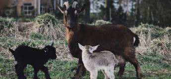 """Екскурсія для дітей: """"В гості до кози"""""""