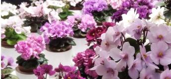 Виставка фіалок та інших кімнатних рослин
