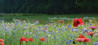 Душистые ароматы полевых цветов