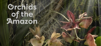 Orchids of the Amazon