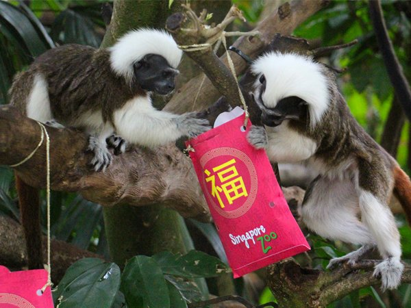 Festive Animal Enrichment @Singapore Zoo