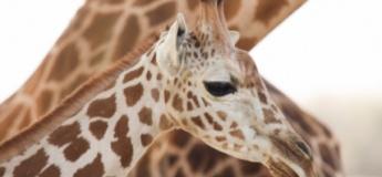 Giraffe Feeding @ Al Ain Zoo