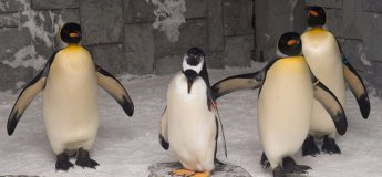 Snow Penguins at Ski Dubai