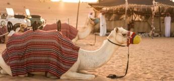 Camel Desert Safari